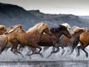 Icelandic Horses - photo from National Geographic